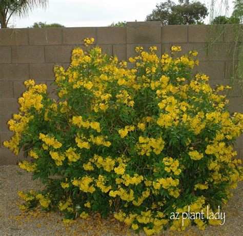yellow like flower shrub downsizing is a thing but not always