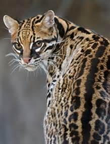 Cats That Look Like Jaguars
