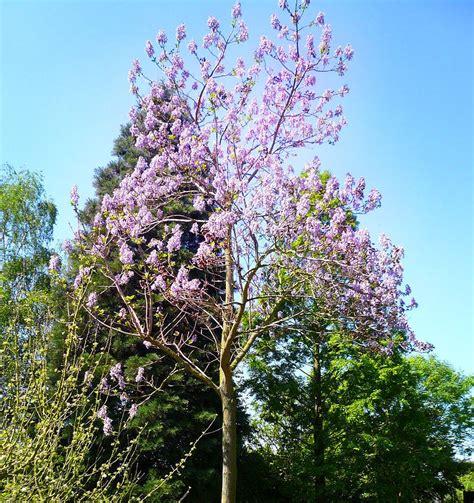 Chinesischer Blauglockenbaum Kaufen by Blauglockenbaum Paulownia Tomentosa G 252 Nstig Kaufen