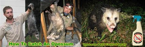 How To Get Rid Of Possums In Your Backyard by How To Get Rid Of Possums In The Yard Attic Roof Deck