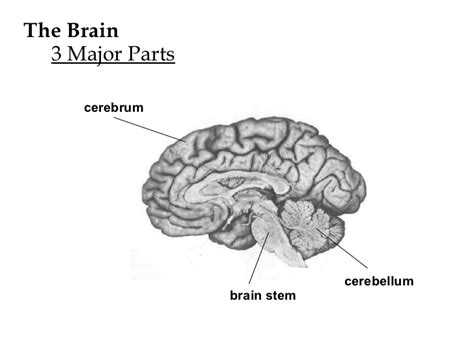 3 main sections of the brain physiology ch 9 lecture notes