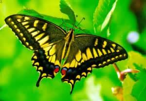 of a butterfly butterflies butterflies picture