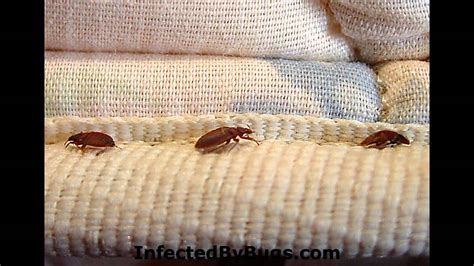 kills bed bugs kill bed bugs photos of bed bugs youtube