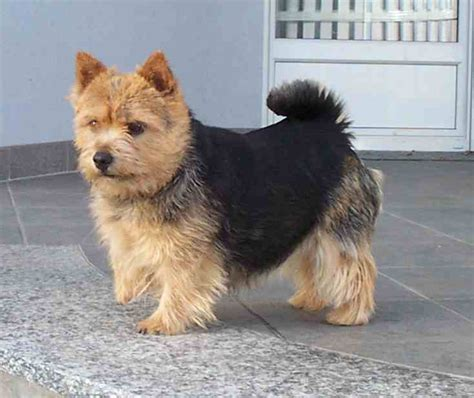 Norwich Terrier Shedding by Mrs Puppies Pictures And Information