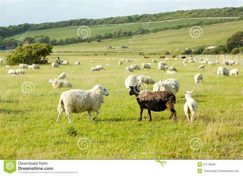 imagenes ovejas negras blancas ovejas blancas que miran ovejas negras feas fotos de