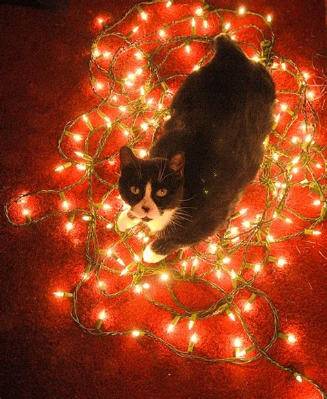 cat christmas lights jpg 484 215 590 christmas light