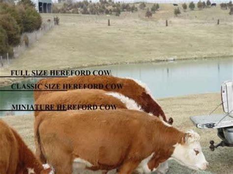 miniature hereford size comparison : bryan hill farm