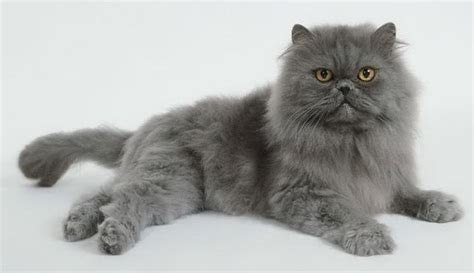 gatti persiani costo gatto persiano prezzo pelo lungo quanto costa il gatto