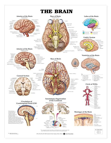 diagram poster brain anatomy poster the brain anatomical chart company