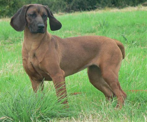 hound dogs breeds bavarian mountain hound breeds