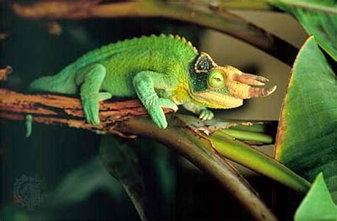 jacksons chameleon facts habitat diet life cycle baby