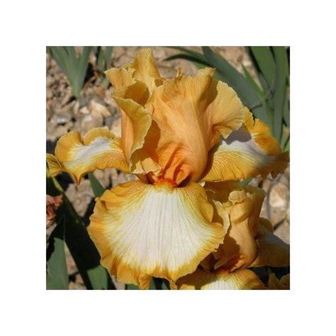 pot exterieur 3623 iris vibrations plantes et jardins