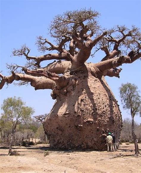what goes on a tree baobab tree they can store 30 000 gallons of water