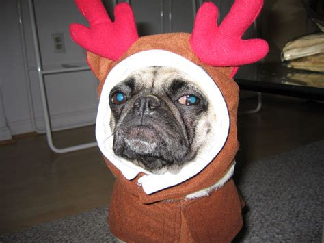 pug reindeer costume the pug tags owned by pugs
