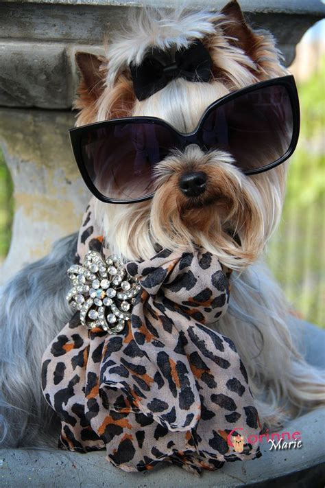 why does my yorkie shake 1931 best images about i cats and dogs on puppys costumes and yorkie