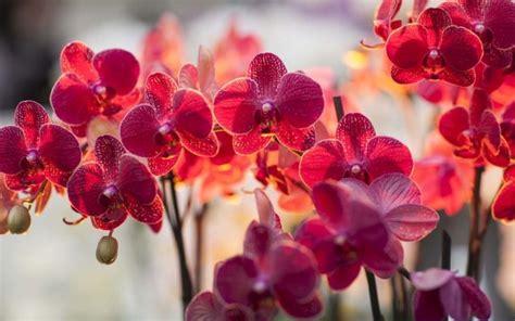menanam bunga anggrek  berbunga lebatmediatani