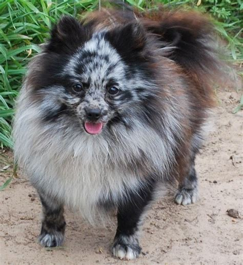 pomeranian breeders australia 77 best blue merle pomeranian images on blue merle pomeranian dogs