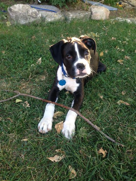 sealed boxer puppies for sale 9685 best boxers images on boxer boxer puppies and animals