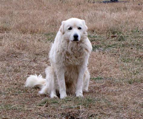 maremma puppies maremma dogs rural ramblings