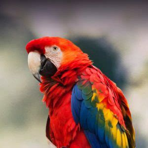 scarlet macaw personality, food & care – pet birds by