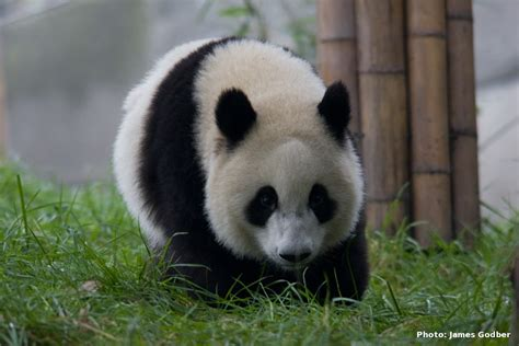 gambar gambar panda imut lucu kumpulan binatang  rebanas