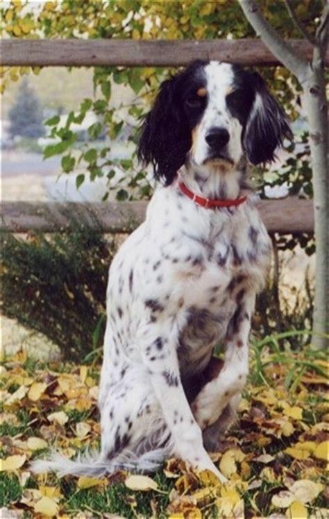 luellen setter dog llewellin setter dog breed information and pictures