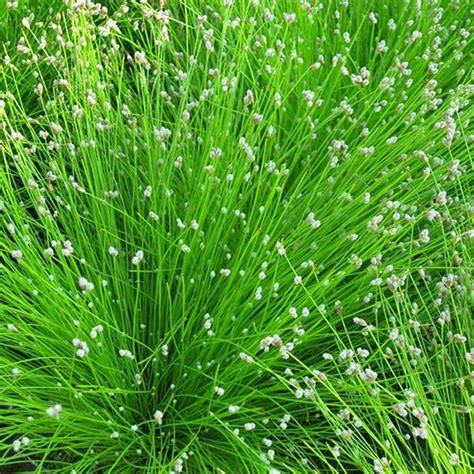 buy fiber optic plant syn scirpus cernuus isolepis