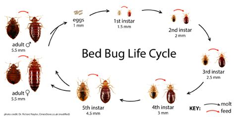 bed bug life cycle bed bugs