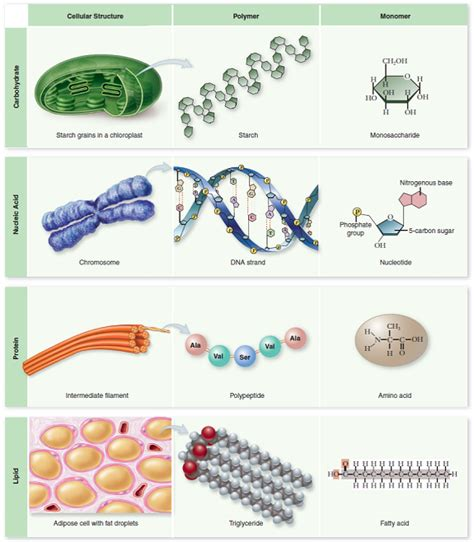 protein macromolecule how do the four biological macromolecules differ