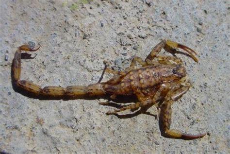 Isometrus Maculatus isometrus maculatus photo jean jacques argoud www