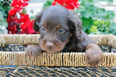 mini aussiedoodle puppies for sale near me aussiedoodle puppy for sale near lancaster pennsylvania 38118f4f 45a1