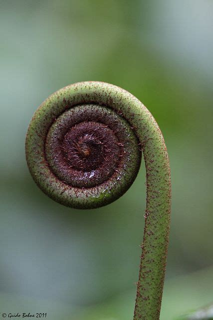 observed pattern in nature spiral geometry observed in the unrolling frond of a true