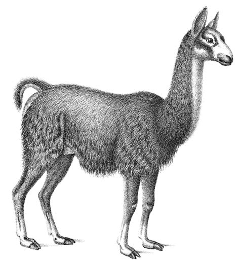 sketchbook lama llama sketch animals l llama llama sketch png html