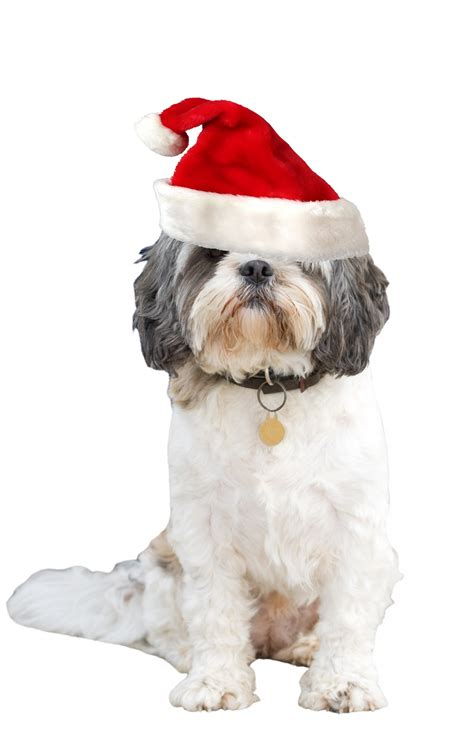 puppy with santa hat santa hat free stock photo domain pictures