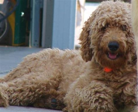 why is my goldendoodles hair short goldendoodle puppies
