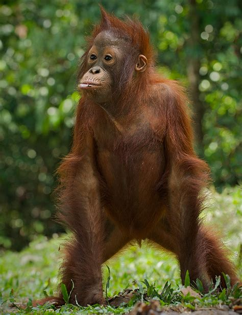 orangutans for sale related keywords suggestions for orangutan standing