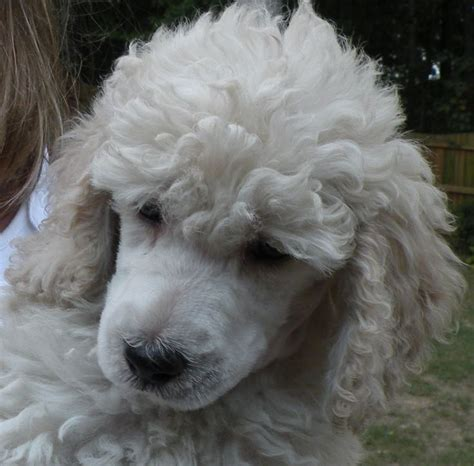 moyen poodle lifespan 911 best images about oodles of poodles on