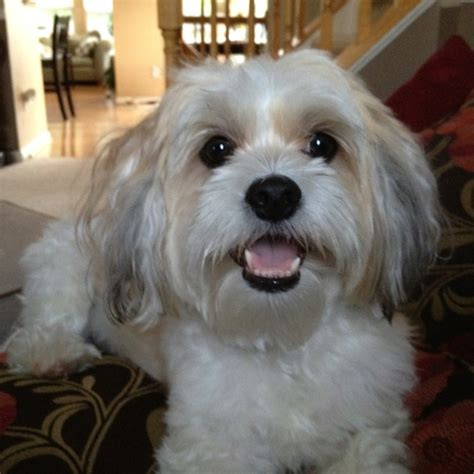 shih tzu lhasa apso mix hypoallergenic 28 best lhaso apso dogs and pups images on lhasa apso puppies and friends