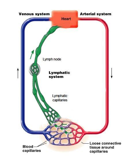 lymphatic drainage system diagram poses to improve immune system through lymph drainage