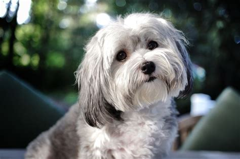 havanese breeders melbourne 292 best images about havanese dogs on