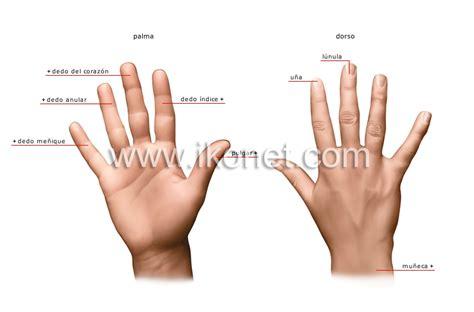 imagenes sensoriales en ingles ser humano gt 243 rganos sensoriales gt tacto gt mano imagen