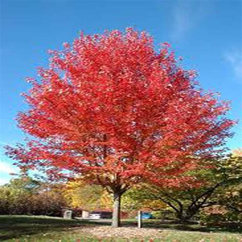 Home Depot Trees by Onlineplantcenter 2 Gal Autumn Blaze Maple Tree A3692g2