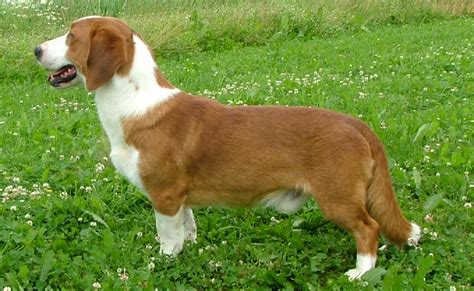 Drever dog breed information, pictures and facts ...