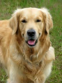 picture of golden retriever golden retriever free stock photo domain pictures