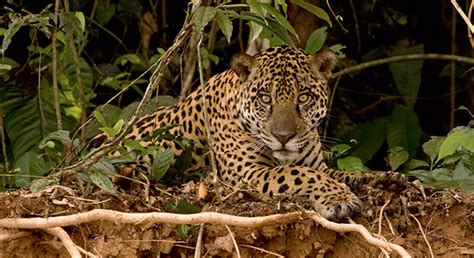 jaguar in arizona arizona s rosemont mine threatens only u s jaguar