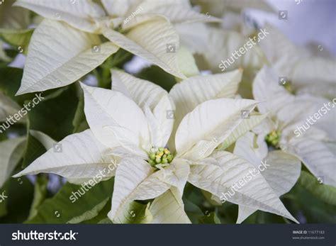 white poinsetta white poinsettia flower stock photo 11677183