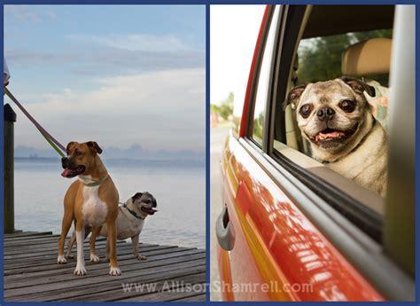 pug st bernard mix boxer pug mix sheltiespitz bernard mix brindle ticked hound breeds picture
