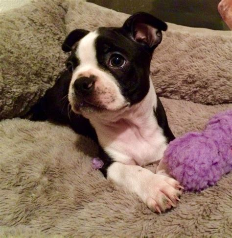 constipated puppy 8 weeks image gallery boston terrier