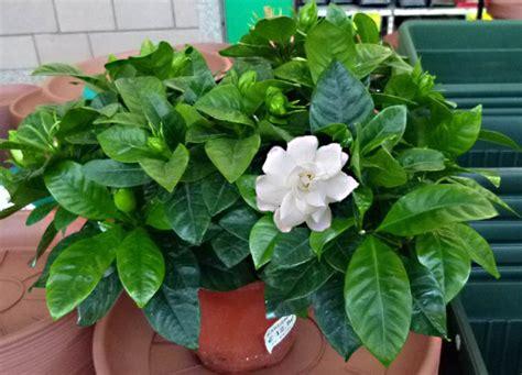 gardenia vaso gardenia rubiaceae come curare e coltivare la vostra