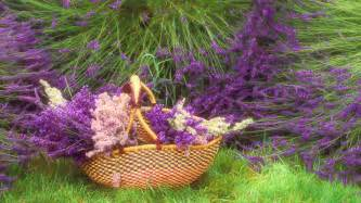 Basket of lavender HD Wallpaper   Download HD Wallpapers